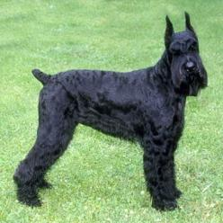 Giant Schnauzer || Tallest of the three Schnauzers, the Giant is a good-looking bearded dog that is thought to have originated in Bavaria near Munich, where it was called the Munchener. || Use today:	Watchdog, herding || Life Span: 12-15 yrs  || Color:	Bl