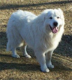 Great Pyrenees. These dogs are big but oh so sweet. The ones I met would forget how big they are and try to be lap dogs.