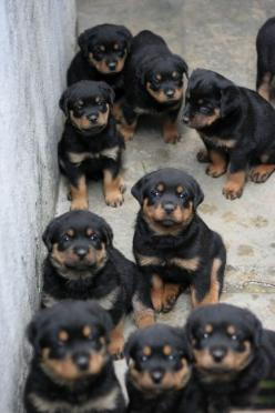 Rottweiler Puppy Parade... oh, they are beautiful!!: Rottweilers, Animals, Dogs, Pets, Puppys, Baby, Rottweiler Puppies, Friend