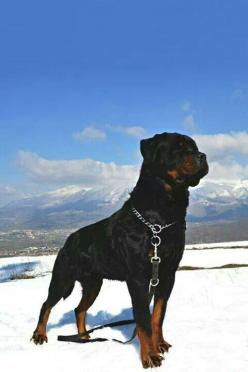 Rottweilers just have a pride in them. I love seeing that.