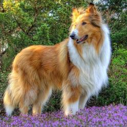 Rough Collie 'Long-Haired Collie' is a long coated breed of medium to large size dog  bred for herding in Scotland. Originating in the 1800s, it is now well known through the works of author Albert Payson Terhune, and through the Lassie novel, mov