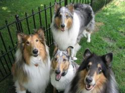 Smooth Collie dog photo   rough and 1 smooth collie all 3 photos with thanks to www mwcr org ...