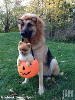 The pom is cute but I'm all about the GSD. Rawr!