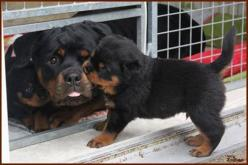 This Little Terrier Got That Rottweiler Pregnant. You're Gonna Want To See Their Puppies...