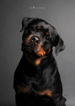 Top 10 Most Expensive Dog Breeds Rottweilers are as multi-talented as they are robust and powerful. The intelligent, patient breed often works as a police dog, herder, service dog, therapy dog, or obedience competitor. But Rottweilers are also protective