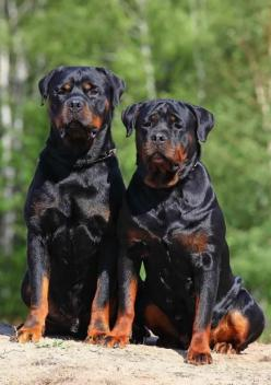 What's better than one Rottie?  Two!  One for the front door and the other for the back.... lol: Rottweilers, Animals, Pet, Front Doors, Rottweiler S, Guard Dog, Friend, Big Dogs
