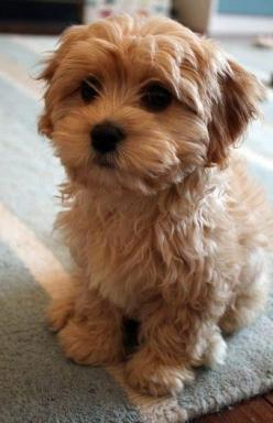 7 Best Dog Breeds That Can Help You Fight Anxiety. Okay, I'm not a super fan of the 'little' dog, but this is the freaking cutest thing I've ever seen!: Apartment Dog, Small Dogs Breed, Teddy Bear Dog
