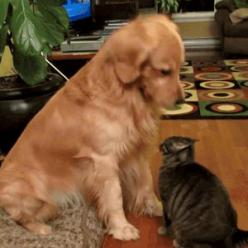 awww: Cats, Animals, Dogs, Golden Retrievers, Cat Gif, Pet, Dog Gif, Funny, Gifs