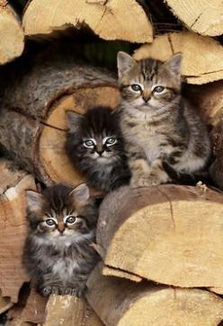 bullzara:  theperfectworldwelcome:  Beautiful !!! \O/  ♥: Cats Cats, Kitty Cats, Sweet, Kitty Kitty, Wood Pile, Kittens, Chat, Feline, Animal