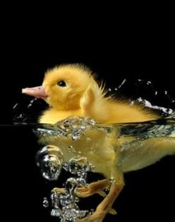 By Thierry Vialard: Animals, Duckling, Baby Ducks, Makes, Good, Photo, Birds