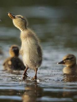 """Duckling: """"I caught myself a little bug for a light snack!"""": Babies, Happy Ducklings, Baby Ducks, Beautiful, Adorable, Baby Animals, Birds, Baby Duckie"""