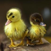 I had one when I was a kid. It slept with its head tucked into my elbow.: Ducklings, Babies, Sweet, Adorable Animals, Baby Ducks, Baby Animals, Birds