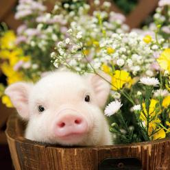 My intention is to fill up Facebook with baby animals to break the saturation of negative images and videos. If you like this post, I will choose a baby animal for you.: Teacup Piglet, Baby Teacup Pig, Flower Pot, Adorable Baby Pig, Teacup Piggie, Cute Pi