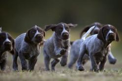 nice family of german shorthair pointers  having a wonderful time together: Picture, Animals, Dogs, Pointer Puppies, German Pointer, German Shorthaired Pointers, Shorthair Pointers, Puppys, Gsp