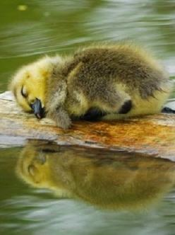 So tired. . .: Ducklings, Animals, Sweet, Baby Ducks, Sleeping Duckling, Sleepy Duckling, Creatures, Day, Birds