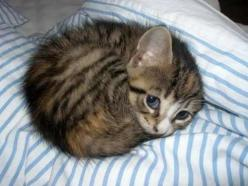 The cutest kitten in the whole wide world. | 50 Animal Pictures You Need To See Before You Die: Cats, Kitty Cat, Animals, Sweet, So Cute, Pet, Baby, Kittens, Kitties