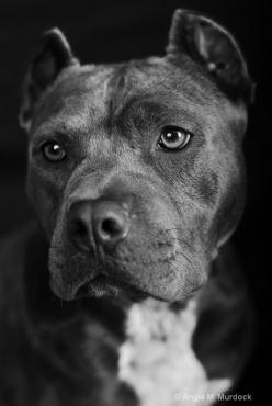 These dogs are so beautiful. #pitbull #dog #blamethedeednotthebreed: Beautiful Pitbulls, Pitbull Dogs, Pittbull Dogs, Pitbulls 3, Pitbulls Dogs, Sad Face, Animal