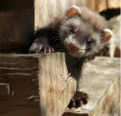very cute baby ferret..: Animals 3333, Baby Ferrets, Beloved Ferrets, Fuzzies, Animals Pictures, Ferret Friend, Ferrets 3, Adorable Ferrets