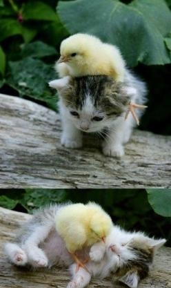 Which came first, the chicken or the…kitten?: Cats, Baby Chick, Friends, Sweet, So Cute, Pet, Kittens, Baby Animals, Kitty