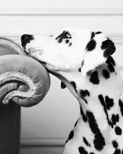 10 Interesting Facts about Dalmatians Click the picture to read