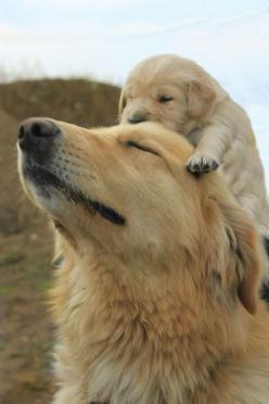 5 Dog breeds with the cutest puppies, cutest pics!!: Cutest Puppy, Animals, Mothers, Dogs, Golden Retrievers, Pet, Puppys, Golden Retriever Puppies