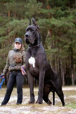 Anyone who can't see the distance between the two is blind! But he is a big boy: Great Danes, Animals, Pets, Puppy, Bigdog, Big Dogs