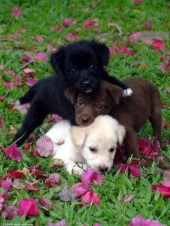 Black one = Maggie Brown one =Charlie White one =Wilson <3. Love my Willie Boo and Maggers!: Doggie, Cute Puppies, Puppy Love, Adorable Animals, So Cute, Puppys, Lab Puppies, Puppy S