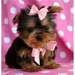 Teacup yorkie... I just want a small long haired dog... I just want to take care of it 24/7! I love dogs and I want my own small little baby one! I'd be so flipping happy I'd love this thing like crazy! It'd be like my little baby<3