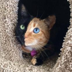 What an amazing and beautiful cat. 21 Animals Who Were Born With Unbelievable Fur Markings: Cats, Beautiful Cat, Animals, Two Faces, Beautiful Animal, Pet, Kitty, Venus, Eye