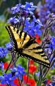 BEAUTIFUL BUTTERFLY: Beautiful Butterflies, Color, Butterflys Moths, Swallowtail Butterfly, Blue Flower