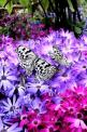 Black and white butterflies: Beautiful Butterflies, Butterflies Dragonflies, Purple, Color, Flutterby, Flowers, White Butterfly