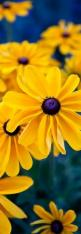 Black Eyed Susan.  Order:Asterales Family:Asteraceae Subfamily:Asteroideae Tribe:Heliantheae Genus:Rudbeckia: Yellow Flowers, Flowers Gardens, Flowers Yellow, Color, Beautiful Flowers, Daisy, Yellow Daisies, Black Eyed Susan