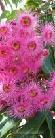 Flowering Gum Trees...beautiful It is native to a very small area of south coastal Western Australia (measured in just tens of kilometres) to the east of Walpole (430 km Southeast of Perth), but is not considered under threat in the wild.: Australian Nati