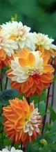 Interested in growing dahlias? Check out the new book The Plant Lover's Guide to Dahlias. #plantlover: Cream Dahlias, Orange Cream, Beautiful Flowers, Bloom, Dahlias Beautiful, Garden, Favorite Flower