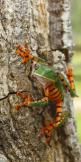 PHYLLOMEDUSA TOMOPTERNA - TIGER STRIPED LEAF FROG - FRENCH GUIANA: Striped Leaf, Animals, French Guiana, Tree Frogs, Tigers, Reptile