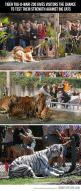 So awesome: Bucketlist, Bucket List, Idea, Big Cats, Busch Gardens, Tiger Tug O War, Tug Of War, Tigers, Animal