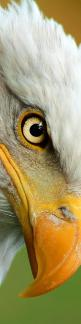 The Eye of the Eagle... You Are My Mighty Eagle in the Spirit My Love...A Man of Prophetic Revelation & Discernment~!: Animals, Animal Eye, Eyes Animal, Raptor, Bald Eagles, Birds