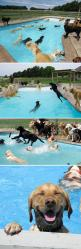 Dogs, summer, and a pool - three of my favorite things!: Pool Parties, Dogs, Labrador, Dog Pools, Happiest Thing