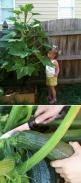 Growing zuchinni: many experts recommend waiting until mid-July to plant so that you can avoid infestation of  squash bug. Use rope or plastic bags cut into strips to tie it to a t-post. It can grow 5 foot or more.: Green Thumb, Growing Squash, Zucchini P