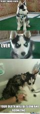 Im really just putting this on here bc this is the most beautiful dog I've ever seen but it's also pretty funny: Animals, Dogs, Bath, Funny Stuff, Husky, Funnies, Humor