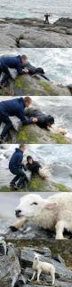 This picture of two Norwegian guys rescuing a sheep from the ocean. | 21 Pictures That Will Restore Your Faith In Humanity: Picture, Animal Rescue, Norwegian Guys, Hero, The Ocean, Faith In Humanity Restored, Sheep, People, Guys Rescuing