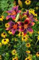 Forever Susan - (Asiatic) an eye-catching flower in perfect Virginia Tech colors of burgundy and orange and a great performer to boot.: Color, Outdoor, Forever Susan, Beautiful Flowers, Pretty Flowers, Gardening, Lilium Forever, Black Eyed Susan