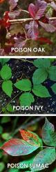 Know your poisonous plants to avoid an itchy night tossing and turning and fighting off a rash while in the back country.: Poison Ivy, Camping Tips, Poison Sumac, Poison Plants, Poisonivy, Camping Outdoor, Poisonous Plants, Camping Ideas, Poison Oak