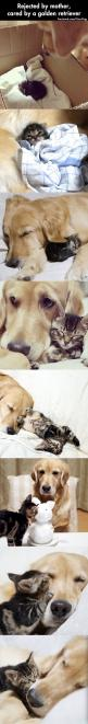 Rejected By Mother, Cared By A Golden Retreiver,  Click the link to view today's funniest pictures!: Kitten, Cat, Animals, Sweet, Golden Retrievers, My Heart, Dog, Kitty