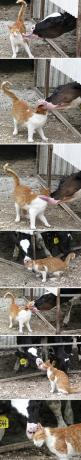 Cat takes a bath // funny pictures - funny photos - funny images - funny pics - funny quotes - #lol #humor #funnypictures: Cowlick, Cats, Animals, Funny Pics, Cow Kisses, Funny Pictures, Bath, Cow Lick, Cat Takes