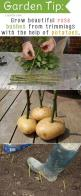 "Grow Beautiful Rose Bushes from Trimmings with the Help of Potatoes (from ""20 Insanely Clever Gardening Tips Ideas""): Growing Garden, Growing Rose, Cutting Garden, Rose Bush, Rose Garden, Beautiful Rose, Rose Cutting"