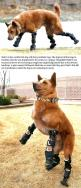 Nakli'o, the world's first dog with four prosthetic legs // funny pictures - funny photos - funny images - funny pics - funny quotes - #lol #humor #funnypictures: Animals, Dogs, Humanity Restored, Pet, My Heart, Puppy, Prosthetic Legs