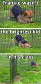 """This is that dog all the other dogs see coming and are like, """"Oh boy. Here he comes again.""""  Humor  LOL  Funny memes  Funny dogs  Funny animals : Corgis, Funny Animals, Dogs, Poor Frankie, Funny Stuff, Humor, Funnies"""