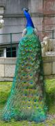 Beautiful Peacock | See More Pictures | #SeeMorePictures: Animals, Peacocks, Nature, Color, Pretty Peacock, Birds, Beautiful Peacock