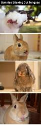 BREAKING NEWS! BUNNIES! TONGUES! DERPY DERP! ....that is all.: Bunnies 3, Bunny Tongues, Bunbun, Bunny Stuff, Animal, Bunnies Sticking, Good Good